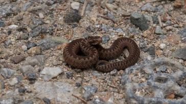 wilde Tiere... (Querung des Lotrului- und Cindrel-Gebirges)