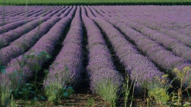 Lavendel gibt der Landschaft ganz ungewohnte Farbakzente. Und Düfte... - Bulgarien