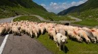 Wollschweine, Transfagarasan