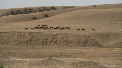 Was die Kühe hier eigentlich fressen, bleibt uns ein Rätsel