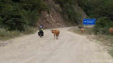 interessierte Kuh