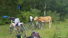 Kuh reinigt Fahrrad