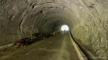 Die Kühe sind nicht dumm. Im Tunnel ist es deutlich angenehmer...