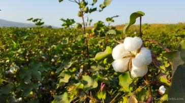Baumwollplantage
