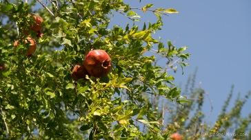 An den Minenfeldern wachsen die besten Granatäpfel. Welch Ironie.