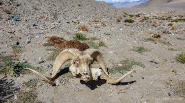 Marco-Polo-Schafe sind ja hier so etwas wie eine Legende. Lebend sieht man sie leider kaum noch..