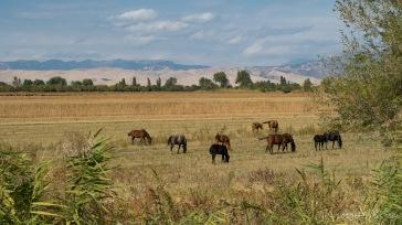 Pferdeherde auf Heuwiese