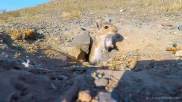 Kasachische Wüstenflitzmaus