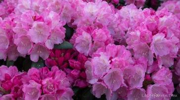 Rhododendronblüten in Claußnitz